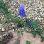 家の玄関 ムスカリの花