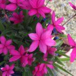 アッツ桜の写真