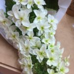 柏葉アジサイの花